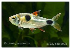 Exodon paradoxus, the bucktoothed tetra.  These are like miniature piranhas, and will do a number on fish kept with them.  Not a community fish!