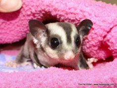 Matilda is a lovely little classic colored sugar glider who just loves mystery stories!  She's available now.