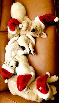 Santa Dogs - ToniK FurBalls Labrador puppies