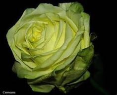 Yellow Rose Meaning - Bing Images