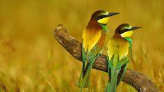 European bee-eaters in Málaga province, Andalusia, Spain (© José Antonio Moreno/age fotostock)