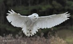 Snowflake the snowy owl flying for a small group of us at the Canadian Raptor Conservancy. Owl Photos, Owl Pictures, Amazing Pictures, Tyto Alba, Owl Wings, Circle Tattoos, Barred Owl, Wolf Tattoo Design, West Art