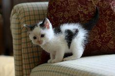 gato branco - Pesquisa Google