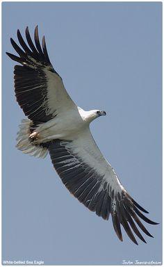 White-bellied Sea Eagle in flight (Haliaeetus leucogaster) Southeast Asia and Australia.