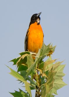Baltimore Oriole: 30 April 2017, Dyke Marsh, Alexandria, VA; 7:30 a.m., mostly sunny, humid
