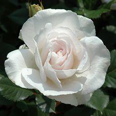 'Margaret Merril' Rose (Rosa floribunda)