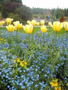 I need to plant forget me nots with the tulips and daffodils to cover the foliage.
