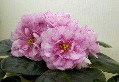 Мраморная Роза (Фарбитник) Крупные бледно-розовые полумахровые и махровые звезды с темно-розовым четким мраморным рисунком. Темно-зеленый, ...