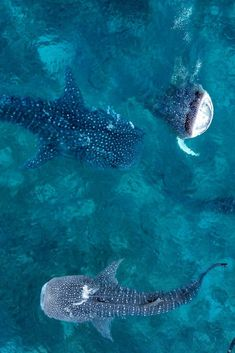rx online Whale sharks are one of my favorite marine species. They are some of the most ma… Whale sharks are one of my favorite marine species. They are some of the most majestic and beautiful creatures in the sea. Amazing Animals, Animals Beautiful, Ocean Creatures, Cute Creatures, Beautiful Creatures, Whale Facts, Ocean Photography, Marine Photography, Wale