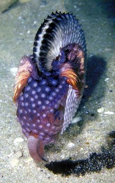 "Argonauta nodosa, one of the argonauts, or ""paper nautilii"", a female octopus…"