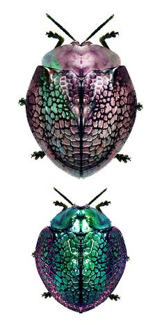 clothing tangled - Pin This Leaf Beetle, Beetle Insect, Insect Art, Cool Insects, Bugs And Insects, Especie Animal, Cool Bugs, Carapace, Cutest Animals