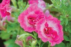 Delicate pink and white 'Martha Washington' petunia stole my heart