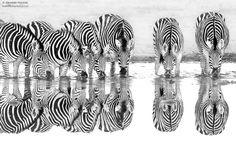 Zebra Reflections by Hendri Venter