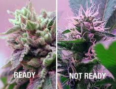 Buy Marijuana Online I Buy Weed online I Buy Cannabis online I Edibles Cannabis Cultivation, Cannabis Plant, Cannabis News, Weed Facts, Growing Weed, Medical Marijuana, Gardens, Medicinal Plants, Gardening