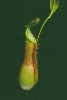 Nepenthes hibrida sp