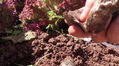 Cosecha de lechugas en periodico (tuhuertofacil.es)