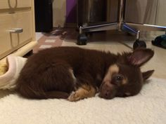 Chihuahua, Puppy, Welpe, Dog, Hund Chihuahua, Dogs, Animals, Puppys, Pet Dogs, Animales, Animaux, Doggies, Animal