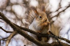 Natural Stealth Technology. A closeup front view of a squirel with a walnut in its forepaws. The squirell sits on a branch of a tree. The whole scene is in brownish colors. The color of the squirrel fur perfectly fits the color of enviroment. Natural invisibility, survival of the fittest. This #photo can be used as a #greeting #card, or a #poster, or a #canvas to #decorate a #home, or an #office.