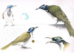 Sketching in Nature: Blue-faced Honeyeater