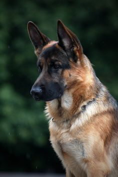 Ꭿ ∂ơɠ'Ꭶ Ꮭɨʄɛ (German Shepherd by Sandra (Nikodema)