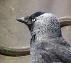 Vogelfoto's en vogelfotografie forum / Bird pictures and bird photography forum Choucas Des Tours, Jackdaw, Crows Ravens, Bird Pictures, Rook, Beautiful Birds, Feathers, Amsterdam, Westerns
