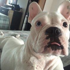 Bom dia  ---- Use RAMON nas compras na @bartolomeupet e ganhe 10% off #ramonfrenchie #frenchies1 #frenchbulldog #frenchielover #frenchiebrasil #bulldog #bulldogfrances #bulldogbrasil #bulldogfrancesbrasil #petbrasil #perfectdog #pawsandpaws #lacyandpaws #thefrenchiepost #theworldofbullies #cute #clãbartolomeu #dog #deafdog #doglover #dogsbrasil #dogmodel #dogsofinstagram #instadog #instafrenchie by ramon_frenchie
