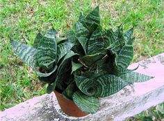 Sansevieria trifasciata variedad 'Hahnii': fotografía - Foro de InfoJardín