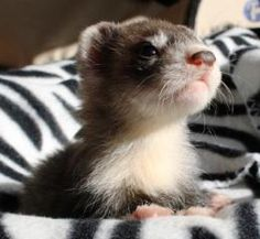 Frettchen in German. So cute Ferrets Care, Baby Ferrets, Funny Ferrets, Pet Ferret, Baby Otters, Baby Dogs, Cute Baby Animals, Animals And Pets, Fur Babies
