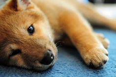 splashduck collection of cute adorable animal pictures. Ninja the Shiba Inu