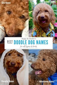 Searching for goldendoodle dog names? Check out this list of best goldendoodle dog names organized by type to fit every personality of doodle pups. Cute names, adventurous names, happy names, hooman names, even character names. Whatever goldendoodle dog Cute Dog Names Boy, Girl Dog Names Unique, Names Girl, Cute Dogs, Best Dog Names Boys, Goldendoodle Names, Goldendoodles, Standard Goldendoodle, Mini Goldendoodle