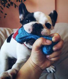 Fun french bulldog