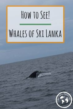 Want to see the biggest animals on the planet? Find out where and how you can see the whales of Sri Lanka! The easiest place in the world to whale watch.