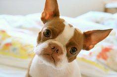 Brown Boston ... What a sweet face!  I will be looking for a Brown Boston as my next BT..