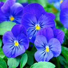"""The pansies' name comes from pensee, a French word meaning """"thought."""" Pansies are related to violets and bloom during cool seasons of the year. In the Deep South, pansies are used for winter bedding. Purple Flowers, Pink Roses, Beautiful Flowers, Tea Roses, Exotic Flowers, Yellow Roses, Flower Images, Flower Pictures, Roses Pinterest"""