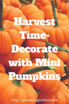Its Harvest Time-Decorate with Mini Pumpkins