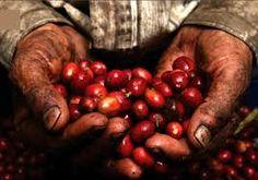 Resultado de imagen para granos de cafe en chiapas