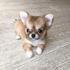 Teacup Chihuahua Puppies, Chihuahua Love, French Bulldog Puppies, Dogs And Puppies, Little Critter, Cute Little Animals, Puppy Pictures, Mans Best Friend, Kawaii