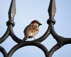House sparrow House Sparrow, Birds, Birdwatching, Photography, Animals, Instagram, Pocket, Nature, Photograph