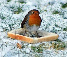 Please don't feed the birds bread. Red Robin, Robin Bird, Animals And Pets, Cute Animals, European Robin, Robin Redbreast, British Garden, Australian Birds, Little Birdie