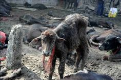 Mass Animal Killing. Gadhimai Festival. Nepal
