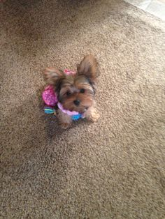 Tiny Puppies, Cute Puppies, Cute Dogs, Teacup Yorkie, Teacup Puppies, Toy Yorkshire Terrier, Yorkie Puppy, Chihuahua, Baby Animals