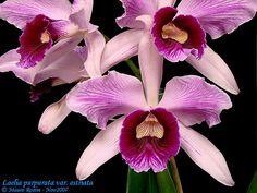 Laelia purpurata  var. Estriata