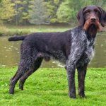 German Shorthaired Pointer Dog Breed Information Gsp Puppies, Pointer Puppies, Pointer Dog, German Shorthaired Pointer Black, German Wirehaired Pointer, Curly Coated Retriever, Braque Du Bourbonnais, Hunting Dogs, Working Dogs