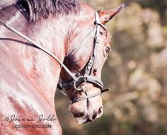 October and November will be filled with horse shows weddings and private sessions. Busy time is approaching and I am really looking forward to it! Check my blog and my FB page for updates  Happy Wednesday! #jjodkophoto #equestrian #equinephotography #horse #paard #pferd #kon #caballo #cavallo #dressage #warmblood #horselove