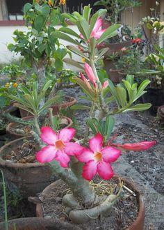 pink Kalachuchi