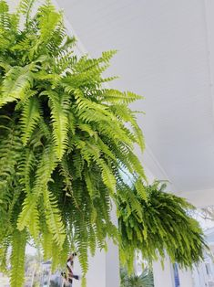 how to get big healthy ferns - Holy City Chic Hanging Ferns, Hanging Plants Outdoor, Best Indoor Plants, Hanging Planters, Fern Planters, Potted Ferns, Porch Plants, House Plants, Container Plants