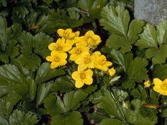 Waldsteinia fragarioides - Appalachian Barren Strawberry