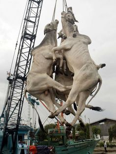 Indonesian cattle suspended by rope... Workers unload cattle by using ropes hanging around their necks in Surabaya, East Java. Common practice. These are sentient Beings that feel pain.