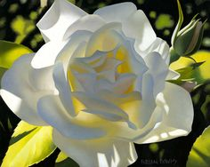 Brian Davis - Divine White Rose - Search Gallery One for Floral limited edition prints, giclee canvases and original paintings by internationally-known artists White Iris, White Roses, Art Floral, Brian Davis, Ronsard Rose, Library Art, Rose Art, Flower Art, Art Flowers