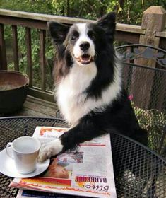 Coffee Collie